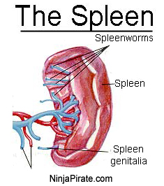 things you never knew about your spleen., Sphenoid